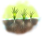 苗が根を張る